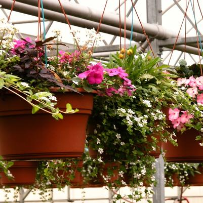 Mixed Annuals Hanging Basket- Assorted Combinations